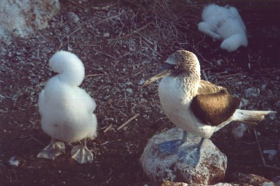 Blue-footed Booby and Chick
